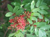 Brazilian Peppertree