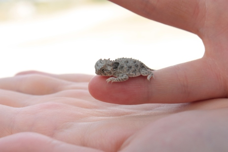 Baby Texas horned lizard