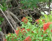 Peppertree invading mangroves