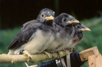 Fledgling Brown Jays
